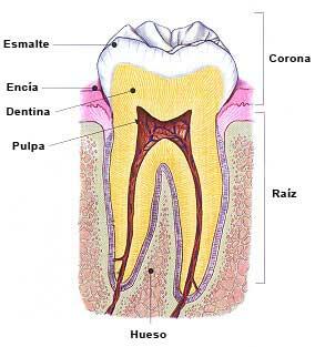 Partes y tejidos de un diente.